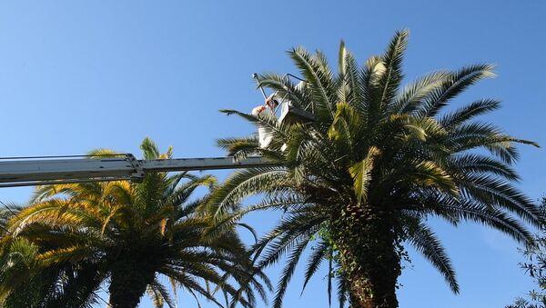 Савели Ҷыҭанаа: 2500 рҟынӡа пальма аԥхасҭа роуеит - Sputnik Аҧсны