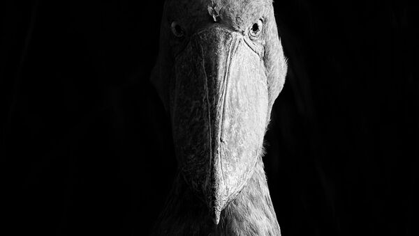 Снимок Sidelit Shoebill фотографа Dvir Barkay, победивший в категории Black and White конкурса Nature Photographer of The Year 2018 - Sputnik Абхазия