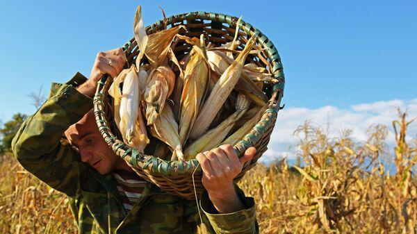 Уборка урожая кукурузы в Абхазии (Лонгрид) - Sputnik Аҧсны