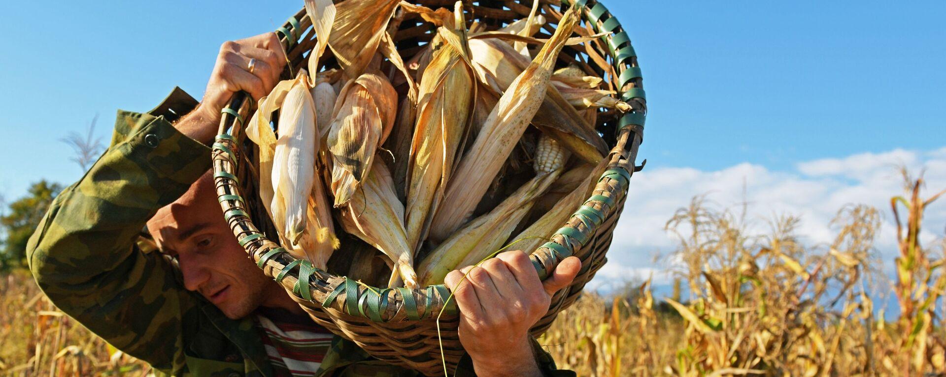 Уборка урожая кукурузы в Абхазии (Лонгрид) - Sputnik Аҧсны, 1920, 06.10.2019