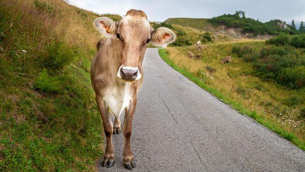 Скот на дороге - Sputnik Абхазия