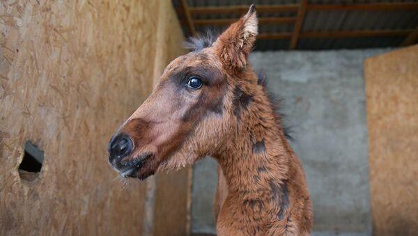 Спасенный жеребенок Тудисай - Sputnik Абхазия
