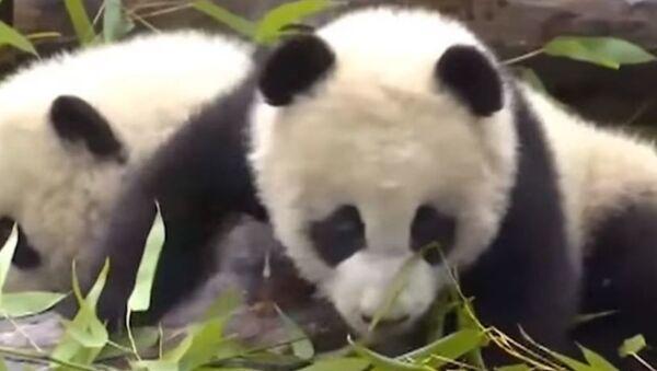 Родившихся в июле панд близнецов показали в Китае - Sputnik Абхазия