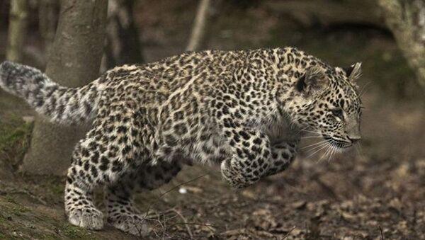 Переднеазиатский леопард - Sputnik Абхазия