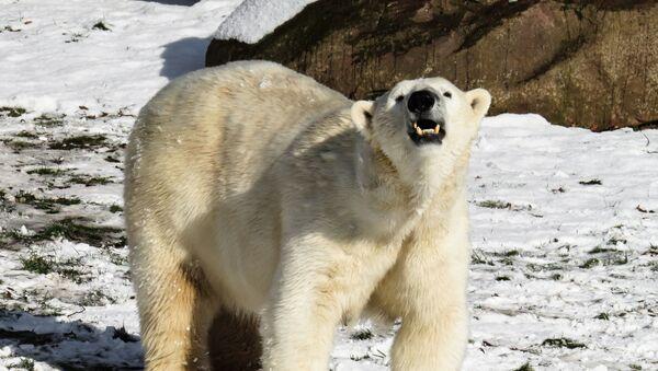 Белый медведь - Sputnik Абхазия