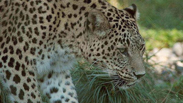 Переднеазиатский леопард. Архивное фото - Sputnik Абхазия