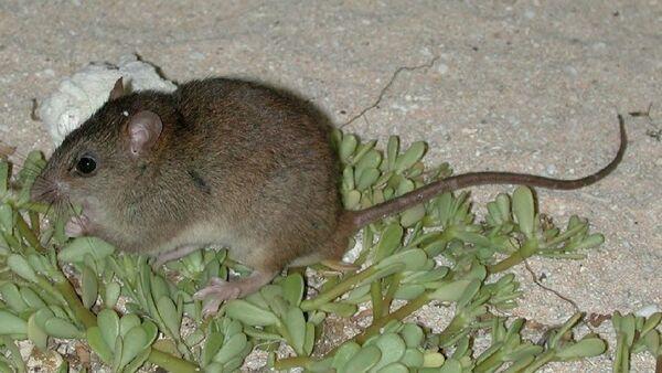 Австралийская рифовая крыса стала первой официальной жертвой глобального потепления - Sputnik Абхазия