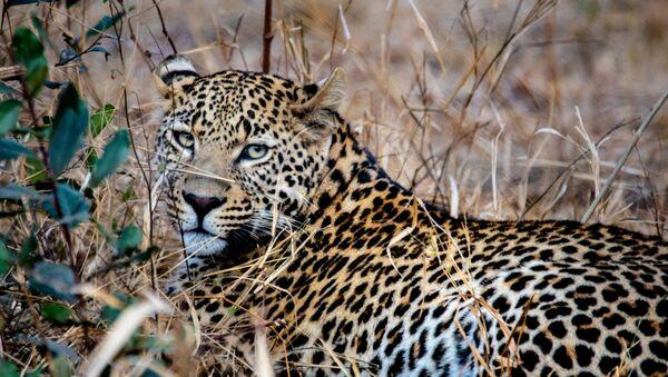 Леопард - Sputnik Абхазия