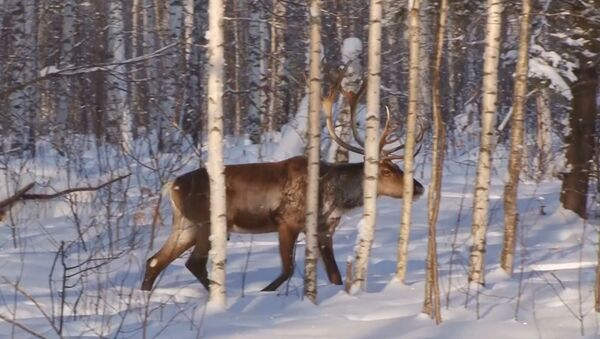 Приволжским лесам вернут северных оленей - Sputnik Абхазия