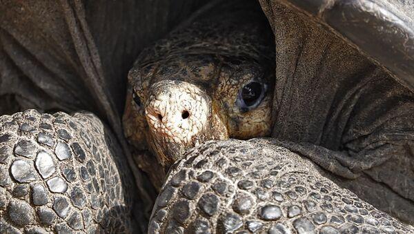 Вид галапагосской черепахи Chelonoidis phantastica - Sputnik Абхазия