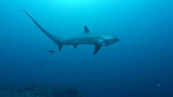Лисья акула - Sputnik Абхазия