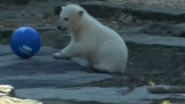 В Берлинском зоопарке полярного медвежонка назвали в честь местного футбольного клуба - Sputnik Абхазия