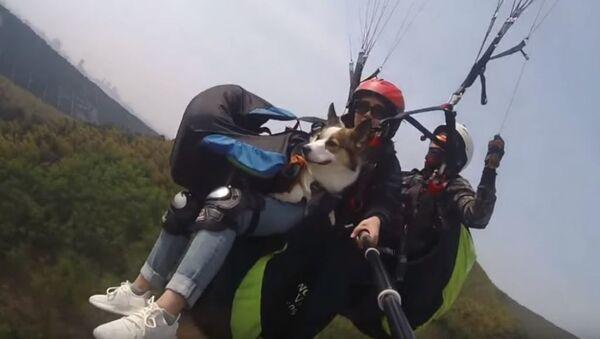 КОРГИниальность: в Китае можно полетать на параплане со своим псом - Sputnik Абхазия