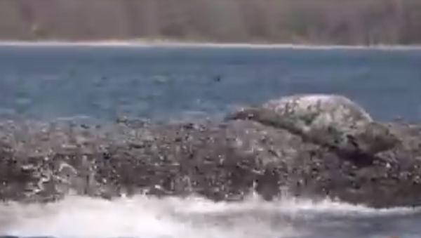 Тюлений всплеск: ларги массово разлеглись на берегах островов Приморья - Sputnik Абхазия