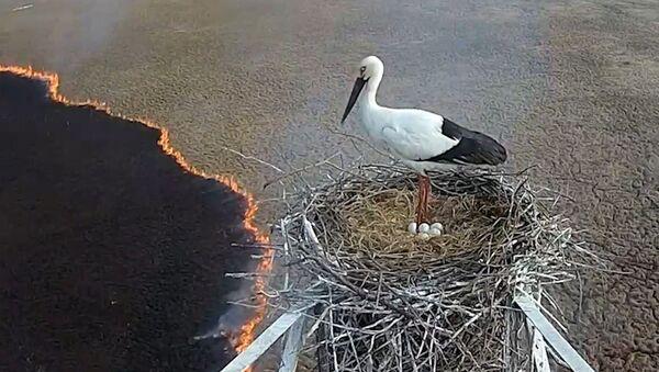 Само спокойствие: аист не покинул гнездо, несмотря на пожар - Sputnik Абхазия