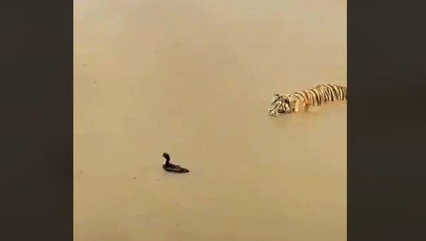 Тигр и утка - Sputnik Абхазия