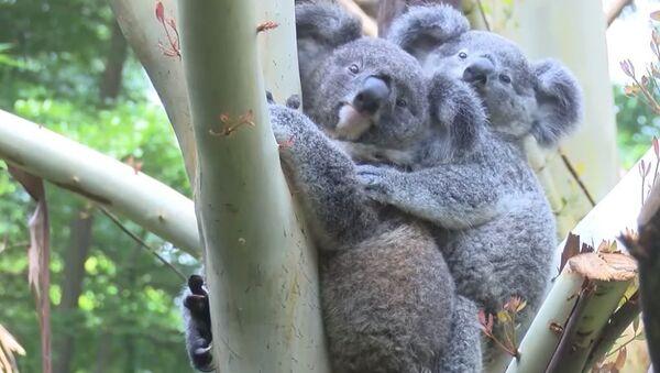 Малыш коалы вылез из маминой сумки через восемь месяцев после рождения - Sputnik Абхазия