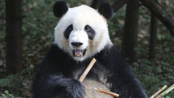 Научно-исследовательский центр разведения панд в Китае - Sputnik Абхазия