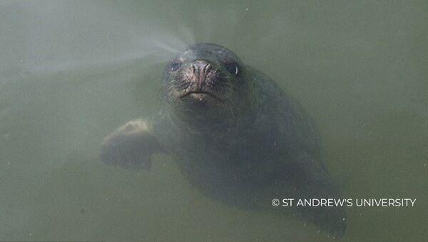 СПУТНИК: Идеальный слух: как поют серые тюлени - Sputnik Абхазия