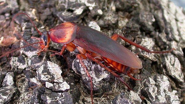 Американский таракан (Periplaneta americana) - Sputnik Аҧсны