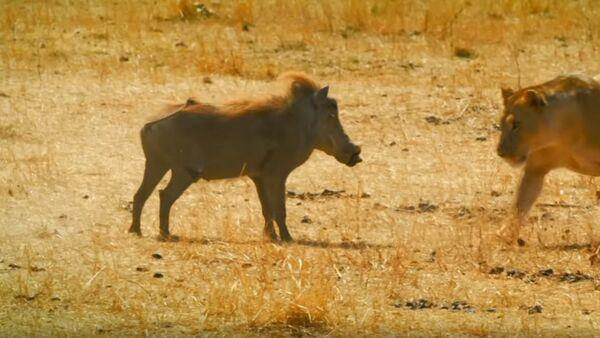 Kali the Lioness Fights Warthog   Serengeti: Story Told by John Boyega   BBC Earth - Sputnik Абхазия