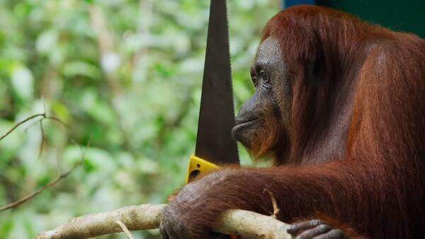 Orangutan Saws Branches for Fun   Spy In The Wild   BBC Earth - Sputnik Абхазия