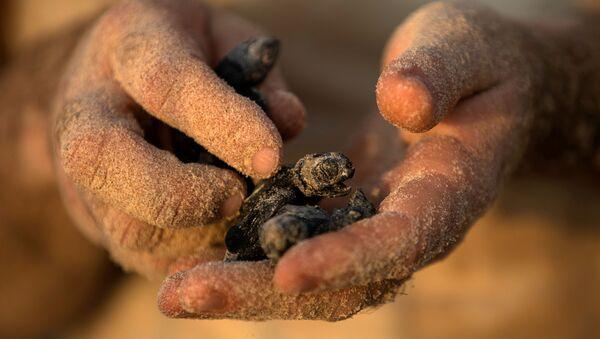 Детеныш морской черепахи в израильском Центре спасения морских черепах в Тель-Авиве - Sputnik Абхазия