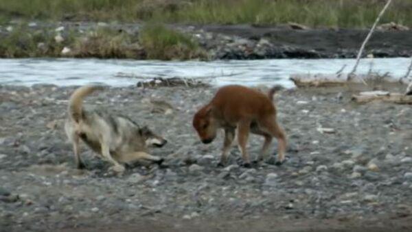 Малыш бизон борется с волком и умудряется преследовать его - Sputnik Абхазия