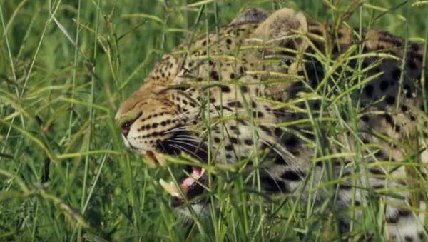Леопард Мама борется со своей дочерью - Sputnik Абхазия