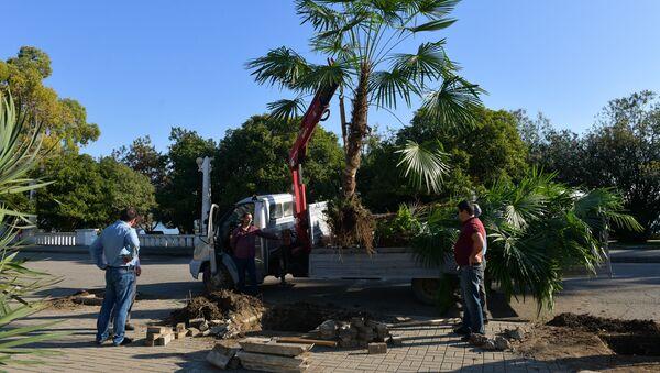 Посадка пальм в городе  - Sputnik Абхазия