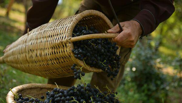 Сбор винограда в селе Хуап - Sputnik Аҧсны