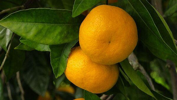 Сбор мандарин  - Sputnik Абхазия