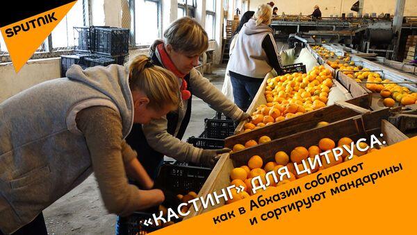 Кастинг для цитруса: как в Абхазии собирают и сортируют мандарины - Sputnik Абхазия