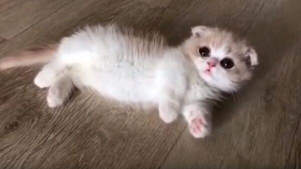 Этот маленький котенок Манчкин расплавит ваше сердце - Sputnik Абхазия