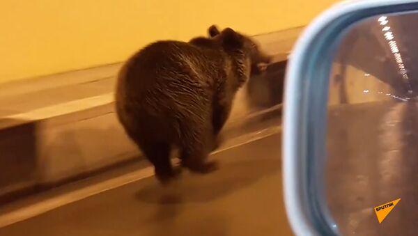Косолапый нарушитель: медведь по тоннелю перешел границу России и Южной Осетии - Sputnik Абхазия
