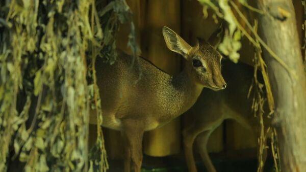 В Московском зоопарке родился детеныш редкой африканской антилопы дикдик - Sputnik Абхазия
