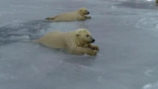 На Чукотке медвежата спустились на неокрепший лед - Sputnik Абхазия