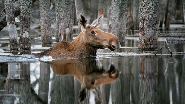 Снимок Плывущий по лесу фотографа Дмитрия Вилюнова, победитель конкурса Дикая природа России National Geographic - Sputnik Абхазия