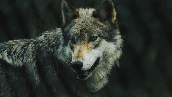 Волк - Sputnik Аҧсны