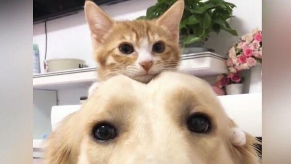Нежный золотистый ретривер и приятный котенок - чистая милашка - Sputnik Абхазия
