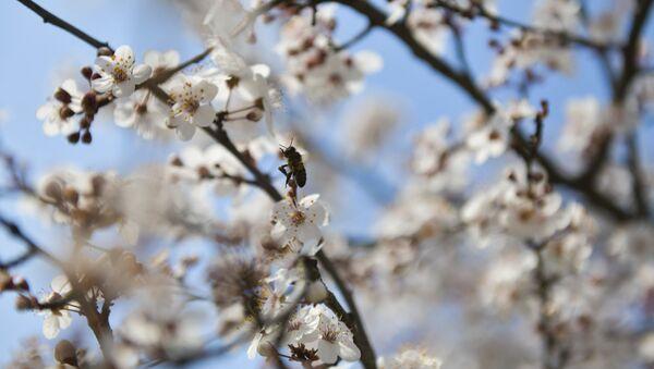 Цветущие деревья, весна на дворе - Sputnik Абхазия