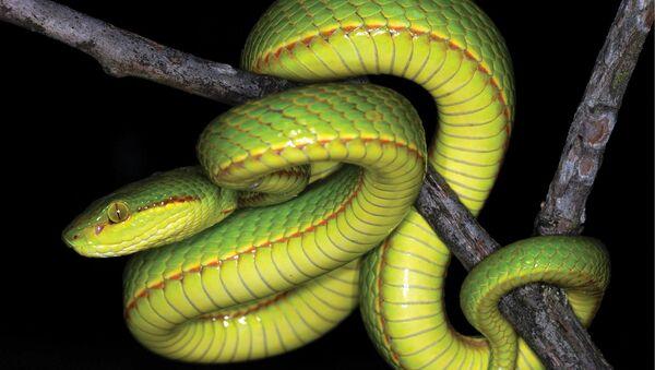 Новый вид змей Слизерин - Sputnik Абхазия