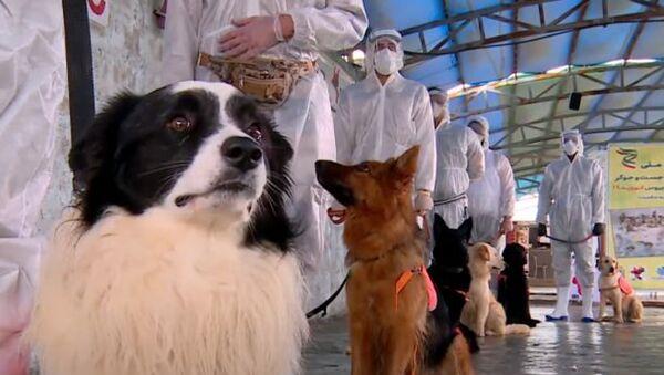 Собачья работа: в Иране животных учат определять зараженных коронавирусом людей - Sputnik Абхазия